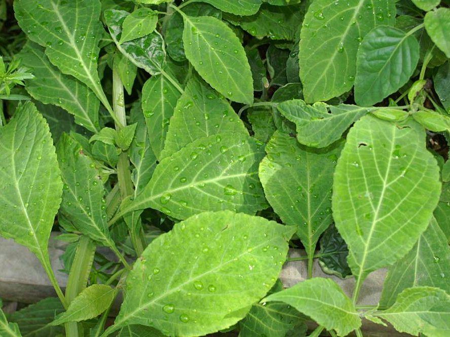 Salvia Divinorum and Kratom Combination